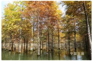 山水田园 自在宁国   红叶指数35%,第二波落羽杉红叶观赏指数发布!周末别错过!