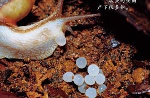[涨知]长这么大才知道蜗牛原来是下蛋的,而且生殖器在脖子上!
