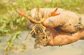 """小龙虾进云南入侵物种名录引""""吃货""""担忧 回应:针对自然环境,餐桌上美食不受影响"""