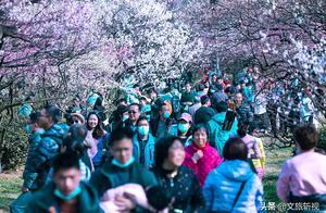 南京梅花山梅花怒放盛开赏花正当时,游客跟梅花争艳夺芳场面壮观