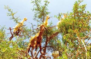 全世界最罕见的景观,树上竟然长满了羊,还带领当地人发家致富!