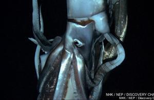 人类第二次拍摄到潜藏深海的巨型乌贼