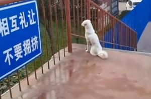 """""""狗版牛郎织女""""大学封校两只狗隔桥相望 学生:天晴下雨都在"""