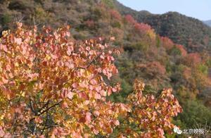 香山红叶季首个高峰日人潮汹涌,不想扎堆您往这儿看