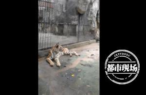 动物园的老虎饿瘦了?动物园回应:不是没吃饱,胖瘦有讲究