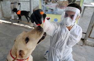 《自然》:用狗检测新冠病毒感染,究竟准不准?