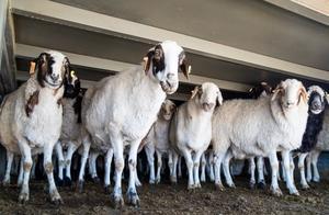 承诺的肥羊先来了4000只,蒙古这一步