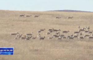 壮观!5000多只野生黄羊大规模入境