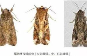 """草地贪夜蛾已入侵我国13省份,""""虫口夺食""""刻不容缓"""