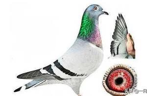 来自中国神秘买家140万欧元买下比利时一只鸽子