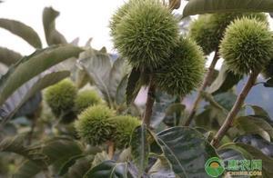 板栗的高产种植技术及周年管理要点