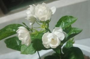 茉莉花这么养,一年能开3~4茬,满盆都冒绿叶子