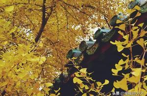「寻秋记」北京这寺藏着千年银杏王,秋天超美,可爱猫咪是侍卫