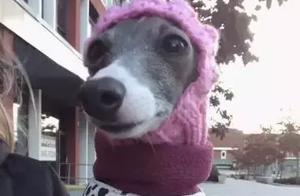 不瞒你说,这10种狗狗是真的怕冷!
