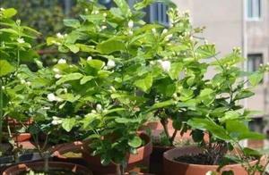 茉莉冬天有4怕,做好几个关键养护,来年开花满枝头