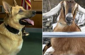 美国小镇镇长选举候选人:一只山羊两只狗,竞争还十分激烈