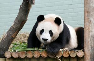 英国一动物园迫于财务压力,或将两只大熊猫甜甜和阳光送回中国