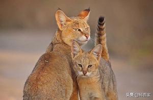 不呆在丛林里的丛林猫,传闻是猫的克星,连猎犬见它也害怕