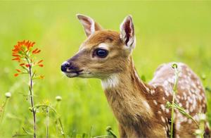 梅花鹿,在古代曾是美丽的象征,一生追求舒适、美好的环境