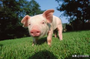 猪肉价格连续两个多月下降 网友:红烧肉安排上了