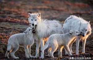 连续六年,没有1只北极狼崽出生,究竟发生了什么