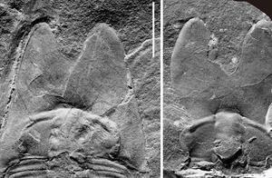 """南京地质古生物研究所为寒武纪三叶虫家族又添一新成员:5亿年前""""范特西虫"""""""