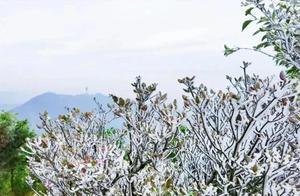 寒潮袭鹏城,梧桐山琼花美景刷屏