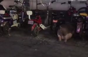 奶茶店主每天上班带百斤宠物猪,店内营业额直线上涨40%