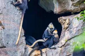 广西崇左拍白头叶猴