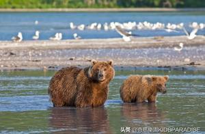 """试图""""投军""""的棕熊母子遭射杀!俄罗斯军方的做法,再度引发争议"""