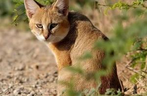 看《猫和老鼠》以后,我一直以为猫打不过狗,直到我知道丛林猫