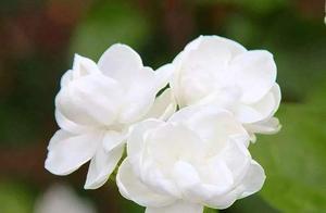 茉莉有超多品种,个顶个的花香浓郁、开花多,不养几盆真是可惜了