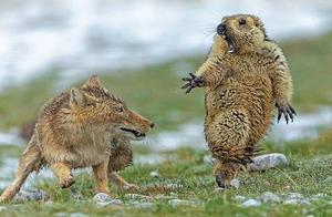 新出炉2020年搞笑野生动物摄影大赛入围作品,直呼戏精!