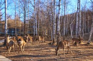 """不用再去奈良,内蒙古有一奇境,也能够感受""""小鹿乱撞"""""""
