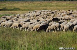 首批4000只捐赠羊今日入境中国 蒙古国的礼物真的来了