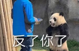 韩女团BP违规接触熊猫幼崽,被骂上热搜:不会养就还给我们