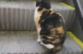 逛商场时发现一只会坐电梯的猫咪,它竟还知道靠右边站,成精了
