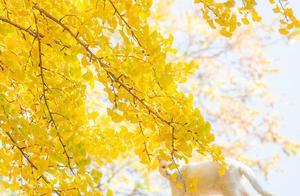 秋季下的美景,银杏树下的白猫