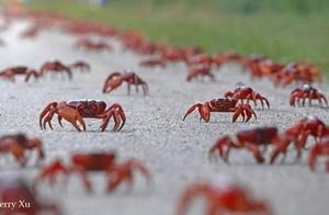 野去圣诞岛红蟹大迁徙直播   这两天连CCTV都报道了这里