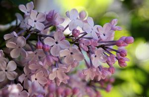 哈尔滨的市花有多美?丁香花开惹人醉