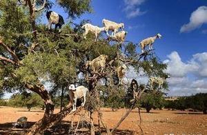 男子发现一棵树上挂满了羊,好奇极了走近一看,男子才发现真相!