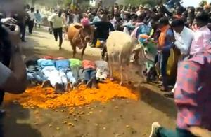 迷惑行为?印度教徒趴地让200多头牛踩,祈求能带来好运