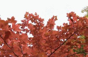 银杏黄了枫叶红了!秋冬昆明最佳赏叶地图出炉了!快来说说你心目中的打卡胜地……