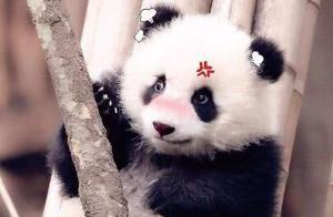 萌哒萌哒panda,萌skr人!
