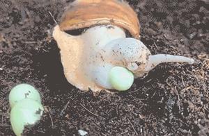 笑不停:原来蜗牛是这么下蛋的,涨姿势了