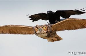 鸟类高智商的代表!乌鸦到底有多聪明?