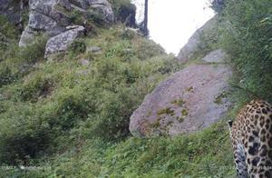 陕西鹰嘴石省级自然保护区 首次拍摄到国家一级保护动物金钱豹影像