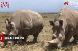 时间不多了!地球上仅存2只北部白犀牛都是雌性,正尝试人工授精