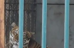 网传广州动物园老虎饿得皮包骨,养一只老虎一天需要多少钱