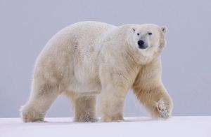 辟谣:东北虎捕杀南下北极熊,这是真的吗?